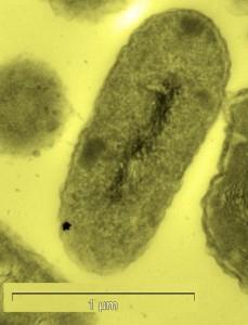 Bacteria-alquimista