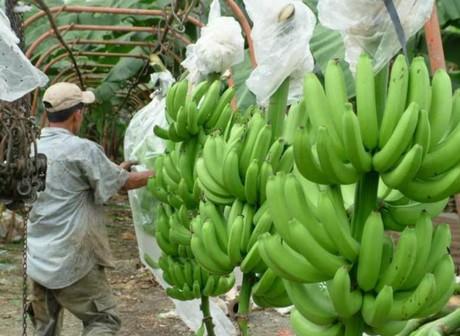 bananerasEC